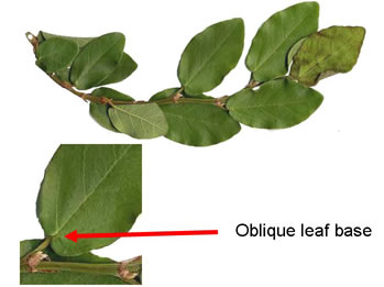 image of Ficus pumila, Climbing Fig, Creeping Fig