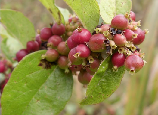 drupe: Symphoricarpos orbiculatus, Coralberry, Indian Currant