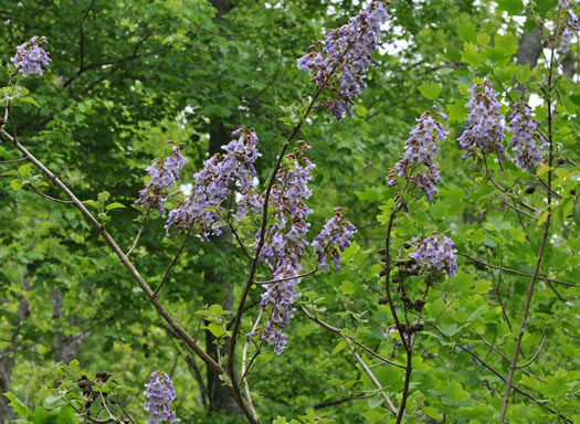 image of Paulownia tomentosa, Princess Tree, Empress Tree, Royal Paulownia