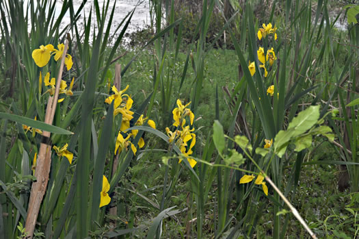 image of Iris pseudacorus, Yellow Flag, Water Flag
