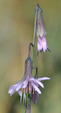 flower of Nabalus autumnalis, Slender Rattlesnake-root, One-sided Rattlesnake-root
