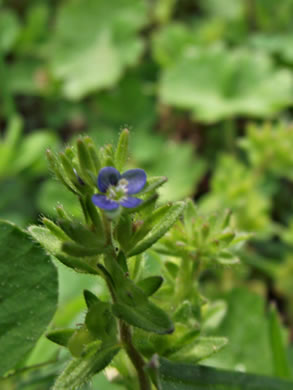 image of Veronica arvensis, Corn Speedwell, Wall Speedwell