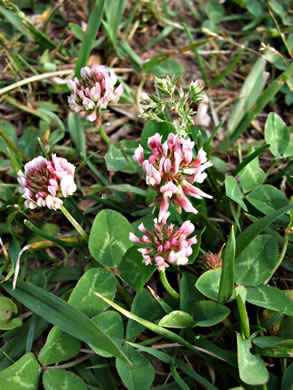 leaves that are trifoliolate and palmately compound: Trifolium hybridum, Trifolium hybridum, Trifolium hybridum