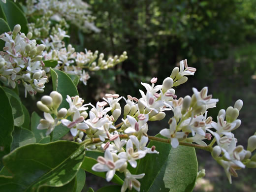 image of Ligustrum sinense, Chinese Privet