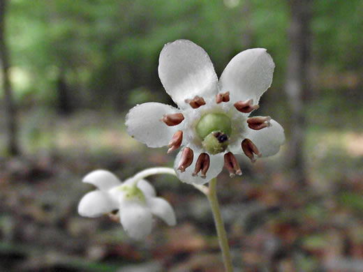 flower of Chimaphila maculata, Pipsissewa, Striped Wintergreen, Spotted Wintergreen