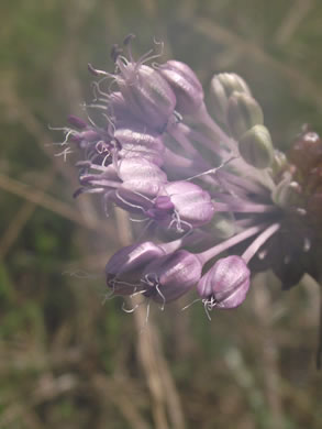 stamen: Allium vineale, Allium vineale ssp. vineale, Allium vineale