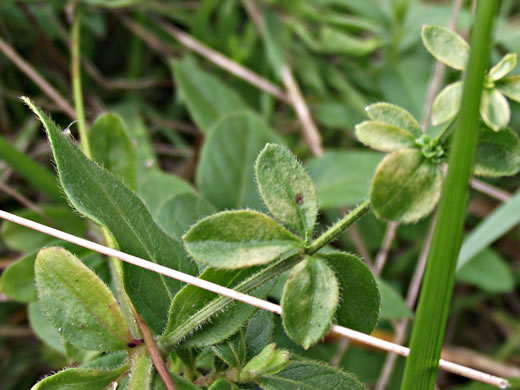 leaf or frond of Galium pilosum, Hairy Bedstraw