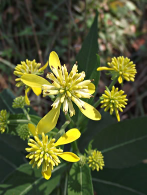 image of Verbesina alternifolia, Common Wingstem