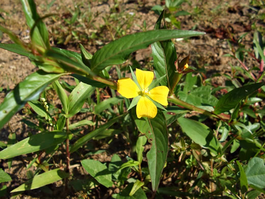 image of Ludwigia decurrens, Wingstem Water-primrose