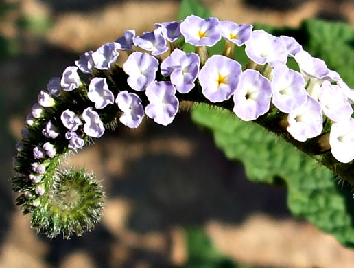 image of Heliotropium indicum, Indian Heliotrope, Turnsole