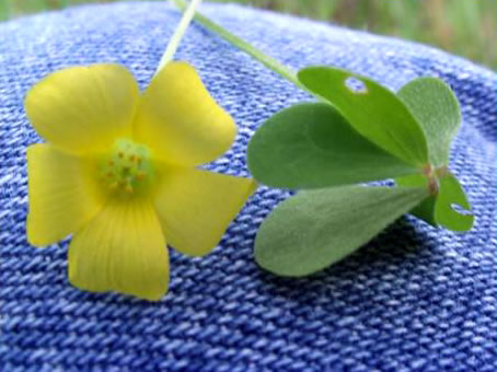 image of Oxalis stricta, Common Yellow Wood-sorrel