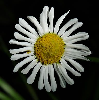 flower of Astranthium integrifolium, eastern western-daisy