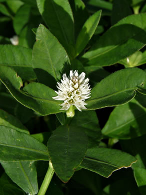 Alternanthera philoxeroides, Alternanthera philoxeroides, Alternanthera philoxeroides