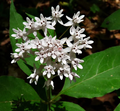 flower of Asclepias quadrifolia, Four-leaved Milkweed
