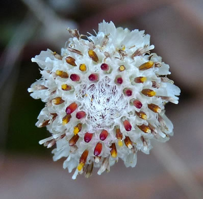 image of Antennaria solitaria, Solitary Pussytoes, Southern Single-head Pussytoes
