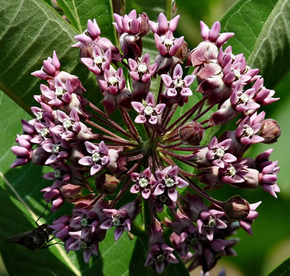 flower of Asclepias syriaca, Common Milkweed