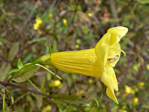 flower of Aureolaria patula, Cumberland Oak-leach, Spreading Yellow False Foxglove