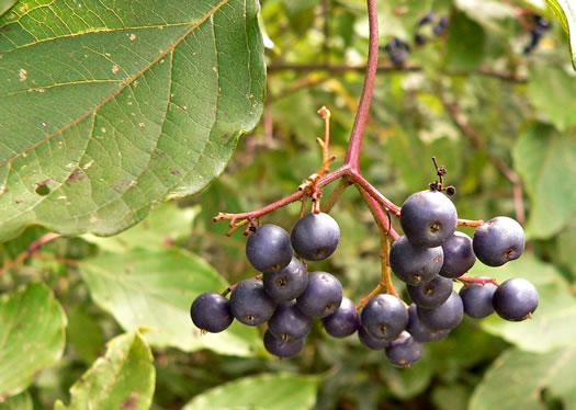 fruit of Swida amomum, Silky Dogwood, Bush Dogwood, Silky Cornel