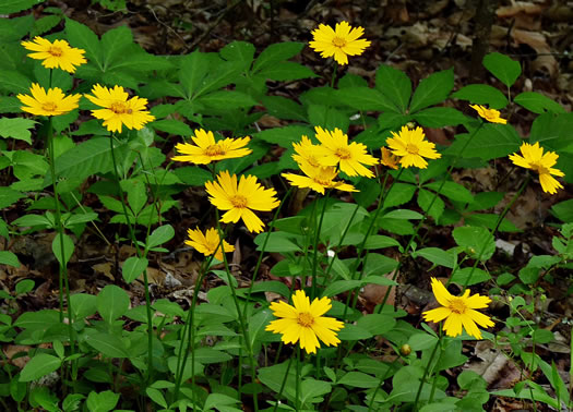 image of Coreopsis auriculata, Eared Coreopsis, Lobed Coreopsis, Eared Tickseed