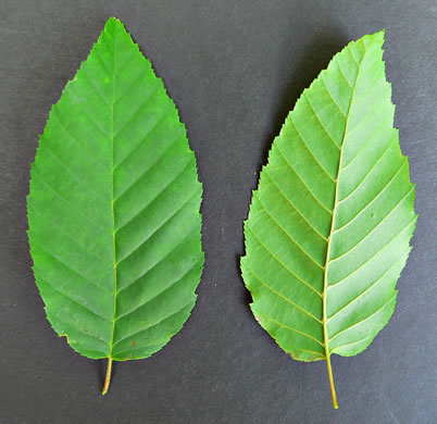 leaf or frond of Carpinus caroliniana +, Musclewood, American Hornbeam, Blue-beech, Ironwood