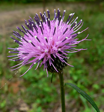 involucral bracts of Thistles: Cirsium carolinianum, Cirsium carolinianum, Carduus carolinianus