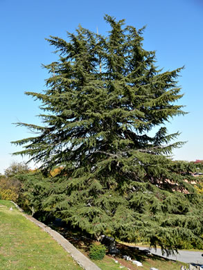 conifers (not including Pines): Cedrus deodara, Cedrus deodara, -