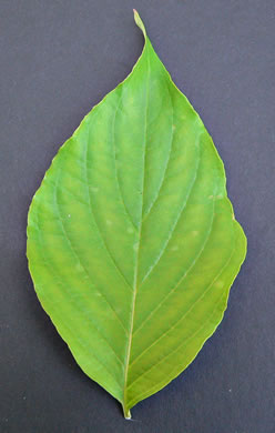 leaf or frond of Benthamidia florida, Flowering Dogwood