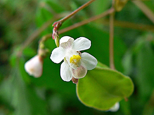flower of Cardiospermum halicacabum, Balloon Vine, Love-in-a-puff, Heartseed