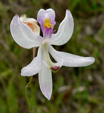 flower of Calopogon pallidus, Pale Grass-pink