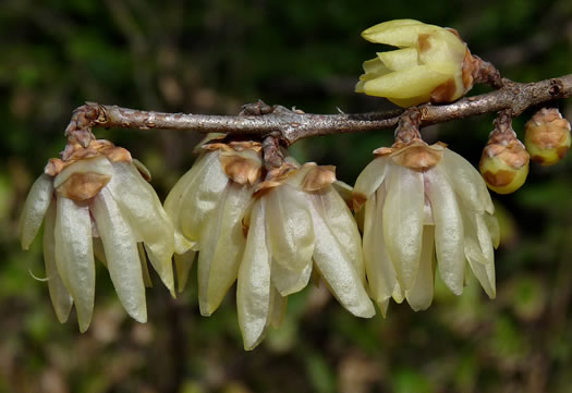 image of Chimonanthus praecox, Wintersweet