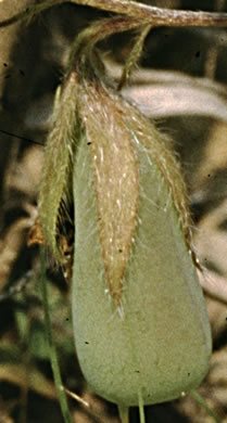 image of Crotalaria sagittalis, Common Rattlebox