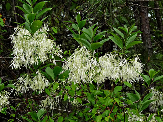 image of Chionanthus virginicus, Fringetree, Grancy Graybeard, Old Man's Beard, Grandsir-graybeard