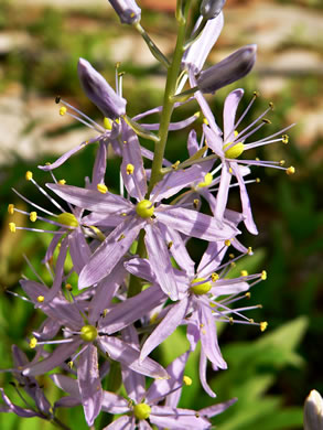 flower of Camassia scilloides, Wild Hyacinth, Eastern Camas Lily, Quamash Lily