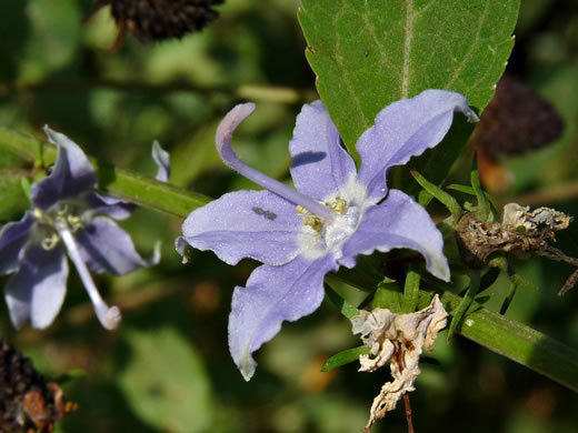 flower of Campanula americana, Tall Bellflower