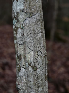 image of Carpinus caroliniana +