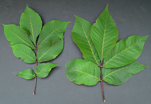 image of Carya ovalis, Red Hickory, Sweet Pignut Hickory
