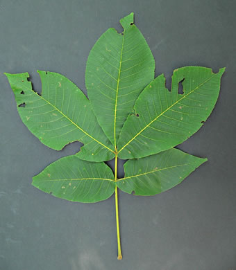 image of Carya ovata, Common Shagbark Hickory