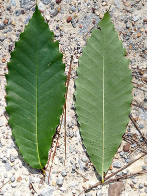 leaf or frond of Castanea dentata, American Chestnut