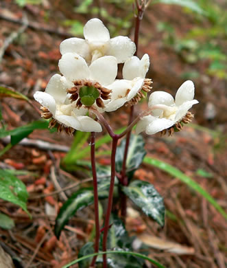 image of Chimaphila maculata, Pipsissewa, Striped Wintergreen, Spotted Wintergreen