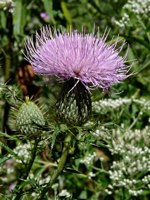 image of Cirsium discolor, Field Thistle