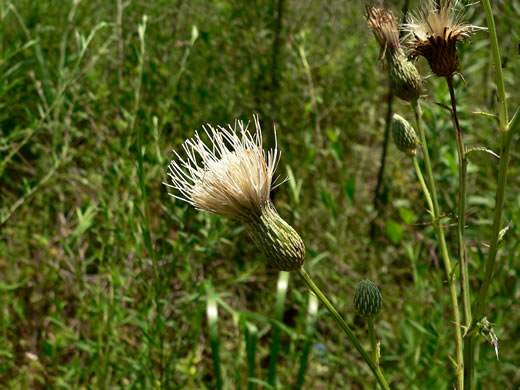 involucral bracts of Thistles: Cirsium nuttallii, Cirsium nuttallii, Carduus nuttallii