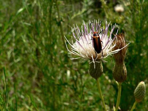 image of Cirsium nuttallii, Coastal Tall Thistle