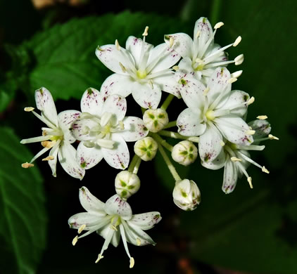 flower of Clintonia umbellulata, Speckled Wood-lily, White Clintonia