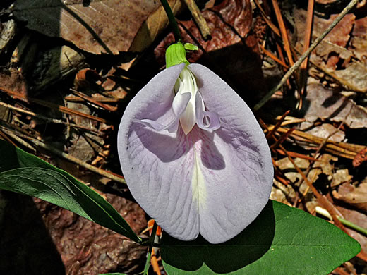 Butterfly-pea species: Clitoria mariana var. mariana, Clitoria mariana, Clitoria mariana