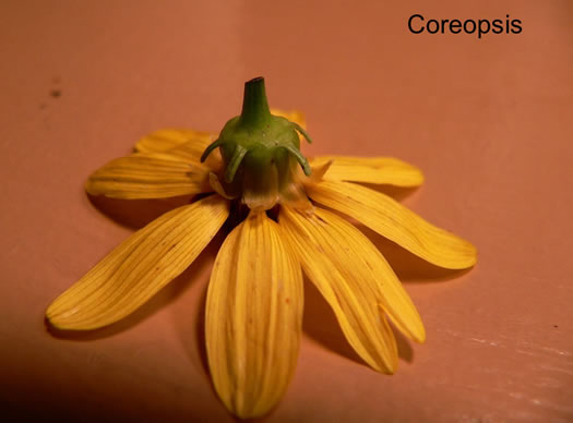 involucral bracts: Coreopsis spp., Coreopsis, Tickseed