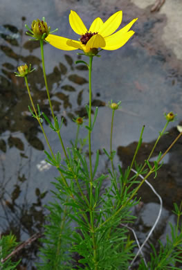 picture of -, image of Coreopsis pulchra