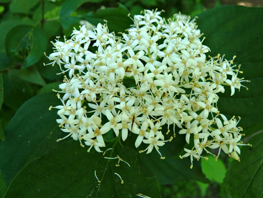 flower of Swida amomum, Silky Dogwood, Bush Dogwood, Silky Cornel