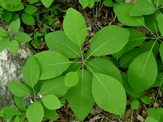 picture of -, image of Cotinus obovata