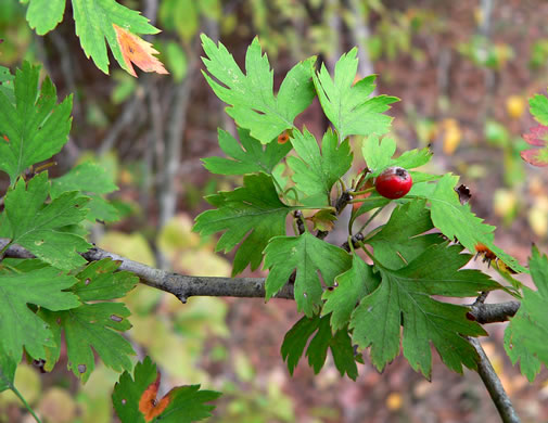 image of Crataegus marshallii, Parsley Hawthorn, Parsley Haw