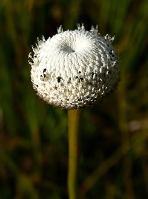 flower of Eriocaulon decangulare var. decangulare, Ten-angle Pipewort, Hat Pin, Hard Pipewort